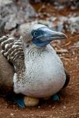 Blue footed booby nesting in the Galapagos Islands — Stock Photo