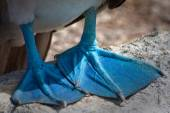 Closeup of Blue footed boobys feet in the Galapagos Islands — Stock Photo