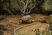 Giant tortoise, Geochelone elephantopus, at Charles Darwin Research Station on Santa Cruz, Galapagos Islands — Stock Photo