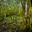 Beautiful green mysterious mossy forest in Santa Cruz island, Galapagos — Stock Photo #70127915