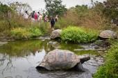 Giant tortoises, Geochelone elephantopus, in their natural habitat, Santa Cruz, Galapagos Islands — Stock Photo