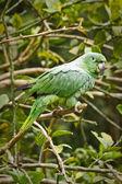 Beautiful green parrot in the rainforest , Yasuni National Park, Ecuador — Stock Photo
