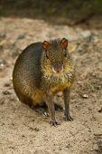 Rodent in amazon rainforest, Yasuni National Park, Ecuador — Foto de Stock