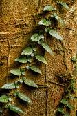 Creeper plant growing around tree, amazon rainforest, Yasuni National Park, Ecuador — Stock Photo