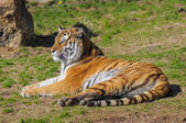 Tiger on grass in zoo — Stock Photo