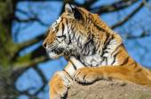 Tiger sitting on rock in Zoo cage — Stock Photo