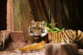 Tiger in shadow in zoo cage — Stock Photo