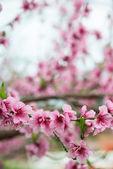 Kwitnące drzewo gałąź na wiosnę z tło zamazane pole — Zdjęcie stockowe