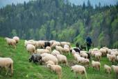 Man walking with hes flock of sheep and dogs, traditional grazin — Stock Photo