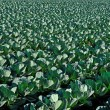 Green cabbage field — Stock Photo #56524797