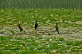 Cormorani uccelli — Foto Stock