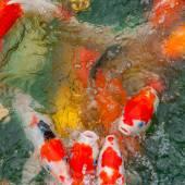 Colorful Koi carp — Stock Photo