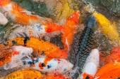 Colorful Koi carp — Stok fotoğraf