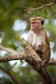 Macaque Monkey — Стоковое фото