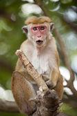 Mono macaco — Foto de Stock