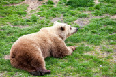 Bear rolling on a grass — Stock Photo