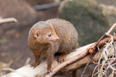 Dwarfish a mongoose sits on  tree trunk — Photo