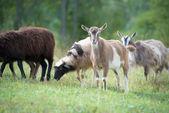Little goats and sheep grazing — Stok fotoğraf