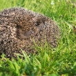 Hedgehog on back curled in the grass — Stock Photo #54747797