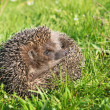 Hedgehog on back curled in the grass — Stock Photo #54747831