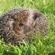 Hedgehog on back curled in the grass — Stock Photo #54748143