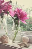 Peony flowers in milk bottles in the window  — Stock Photo