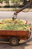 Fresh grapes in trailers — Stock Photo