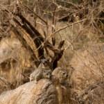 Постер, плакат: Procavia capensis african mammal