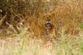 Resting lioness  at Lake Manyara National Park — Stock Photo