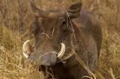 Common warthog at Ngorongoro — Stock Photo