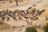 Herd of Gnus and  Zebra in Tarangire National Park — Stock Photo