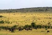 Herd of wildebeests and Zebra — Stock Photo