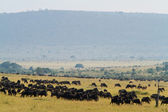 Herd of wildebeests and Zebra — Fotografia Stock