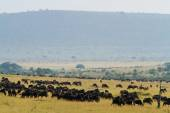 Herd of wildebeests and Zebra — Стоковое фото
