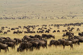 Herd of wildebeests and Zebra — Stock Photo