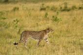 African Cheetah on the Masai Mara National Reserve — Fotografia Stock