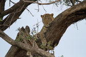 Leopard in the tree  in Maasai Mara National Reserv — Stock Photo