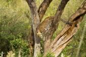 Leopard in the tree  in Maasai Mara National Reserv — Stock Photo