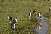 Marabou storks at  Lake Nakuru National Park — Stock Photo