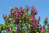 Violet lilac against blue sky. — Stock Photo