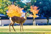 Nara deer at fall, Japan — Stock Photo