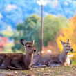 Deer near Todaiji temple in Nara, Japan — Stock Photo #53627273
