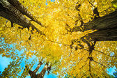 Ginkgo at fall season — Stock fotografie