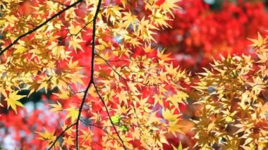 Red japanese maple autumn fall — Stockvideo