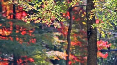 Red japanese maple autumn fall — Stock Video