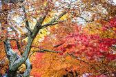 Red maple trees in a japanese garden — Stock fotografie