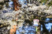 Sakura season, Kyoto, Japan — Stock Photo