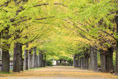 Beautiful Ginkgo along the lenght of the street — Stock Photo