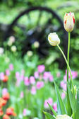 Pink tulip with bokeh for adv or others purpose use — Stock Photo