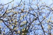 Plum blossom under the clear sky — Foto de Stock